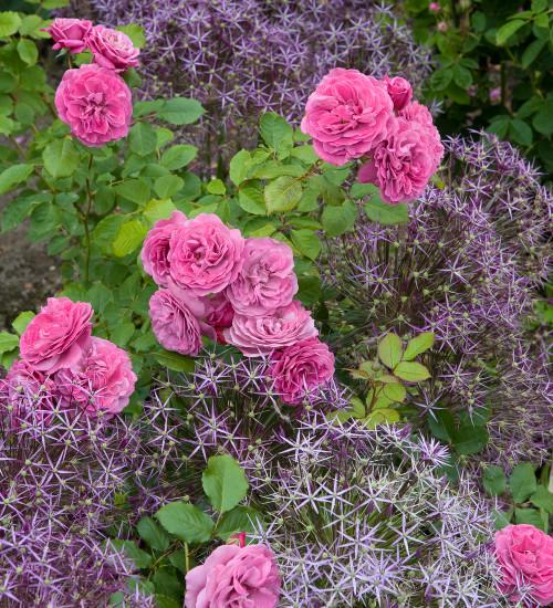 Rosa 'The Mayflower'