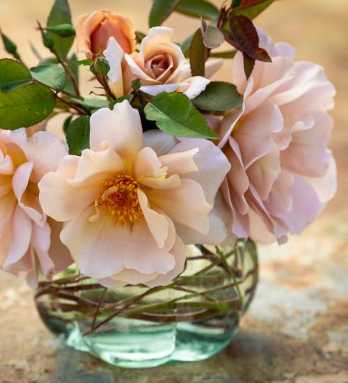 Rosa 'Julia's Rose'