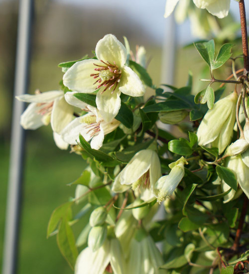 Clematis 'Christmas Surprise'