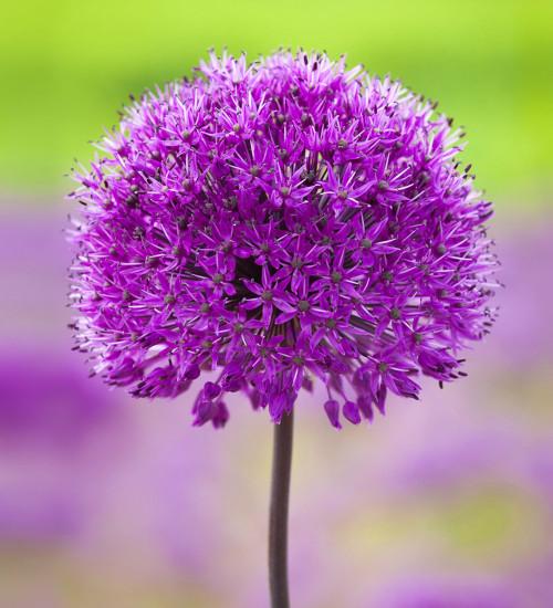 """荷兰葱""""紫感"""""""
