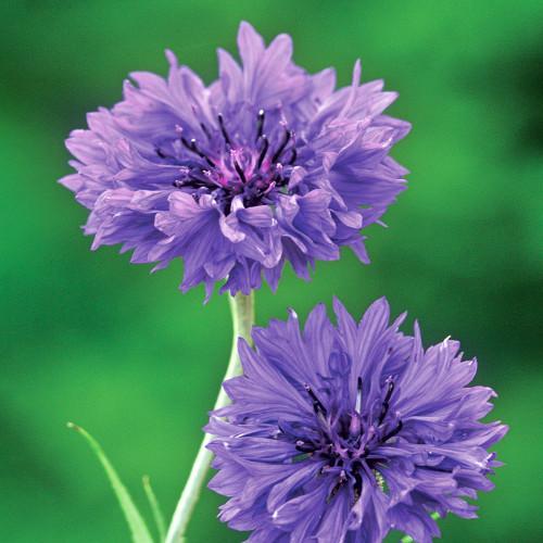 Centaurea cyanus 'Blue Boy'