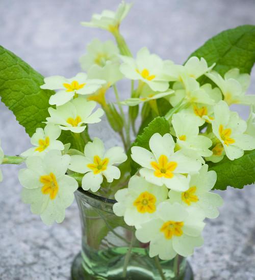Primula vulgaris (Wild Primrose)