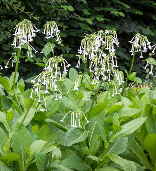 Nicotiana sylvestris 'Only the Lonely'