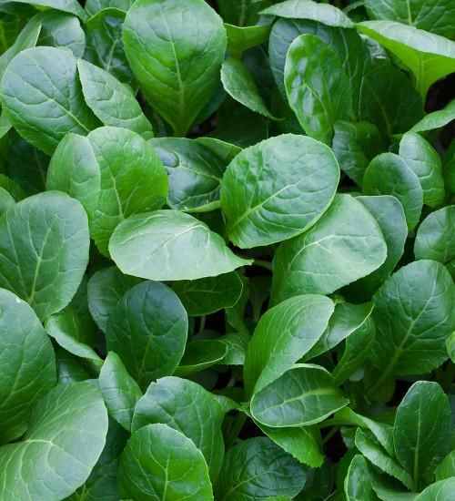 Komatsuna (Mustard Spinach)