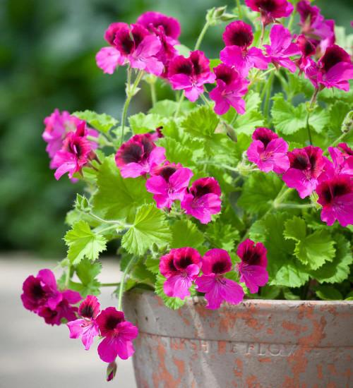 Pelargonium 'Marion Saunders'