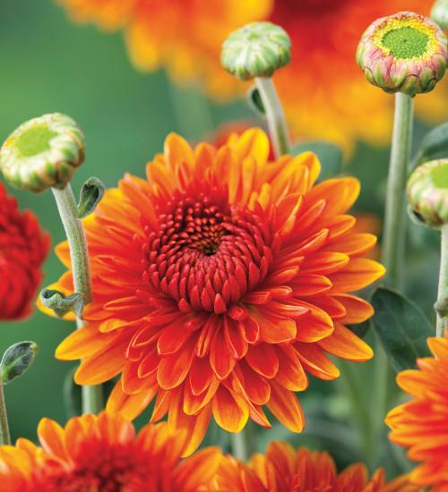 Chrysanthemum 'Bruno Bronze'