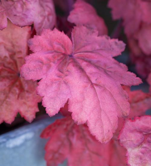 Heuchera x 'Autumn Leaves'