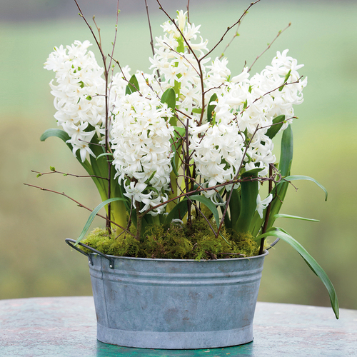 Potted Hyacinths in Zinc Bowl Gift Set