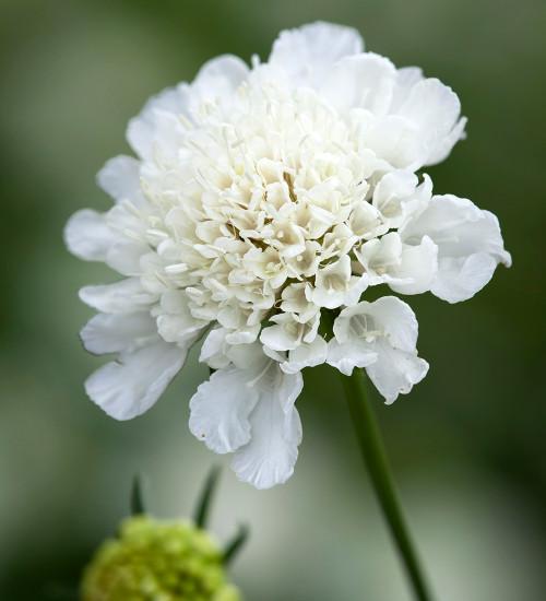 Scabiosa atropurpurea 'White'