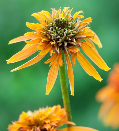 Echinacea 'Marmalade'