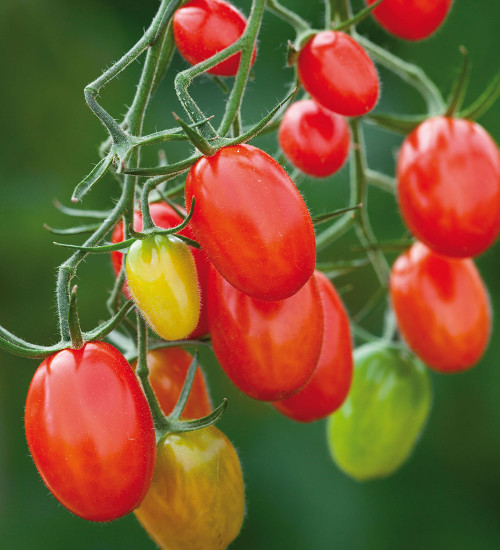 Tomato 'Santonio'