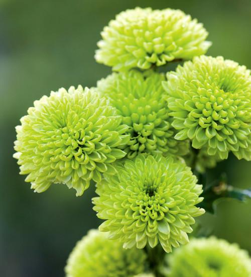 Chrysanthemum 'Yara Green'