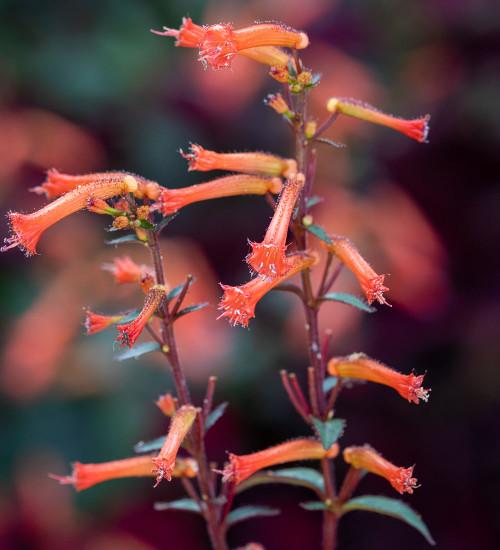Cuphea caeciliae
