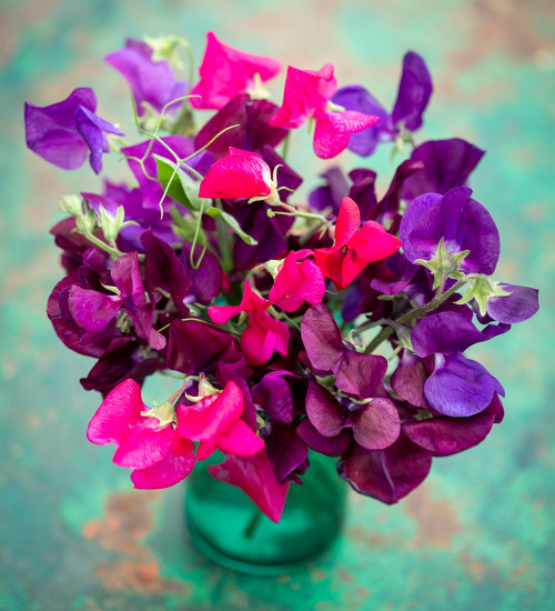 Deep and Rich Sweet Peas for Containers Collection