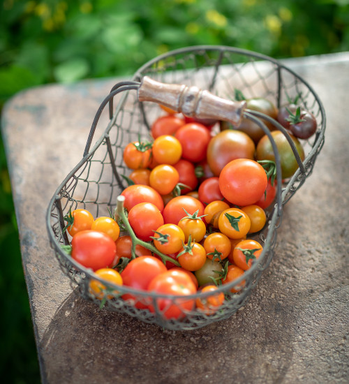 Outdoor Planting Tomato Collection