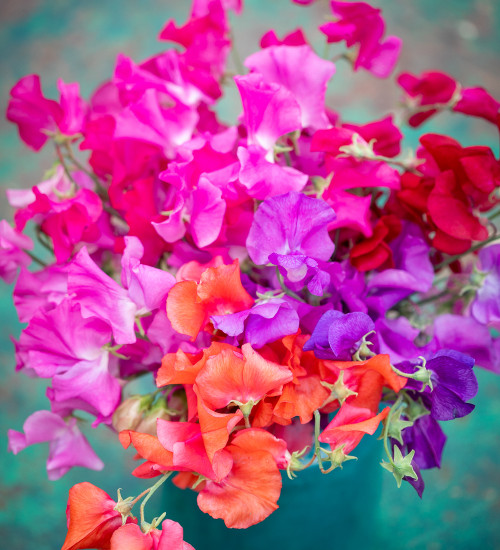 Brilliant Buckets Sweet Pea Collection