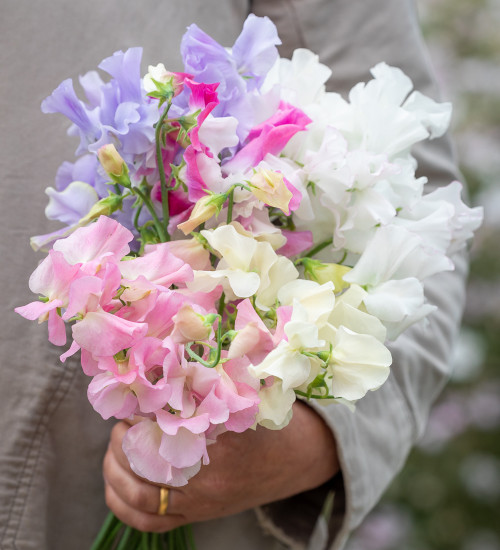 Curvaceous Beauties Sweet Pea Collection