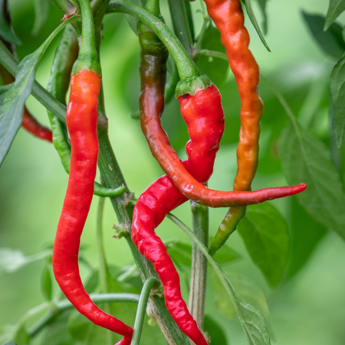Chilli 'Hot Cayenne'