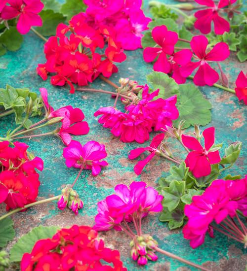 Pink Wow Pelargonium Collection