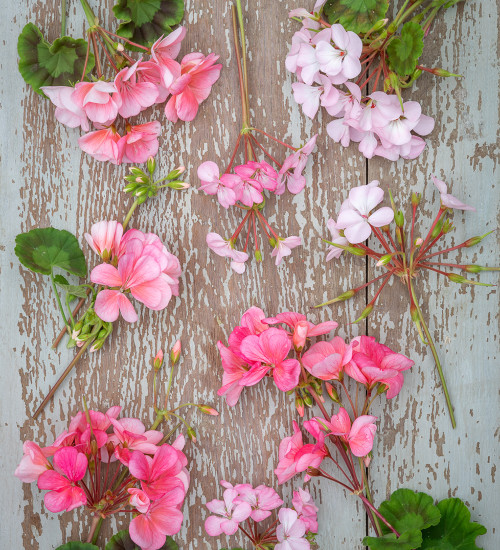Pretty-in-Pink Pelargonium Collection