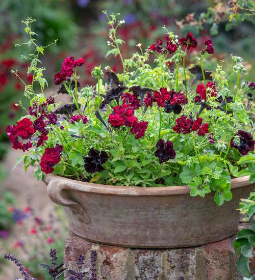 Black Widow Pot Collection