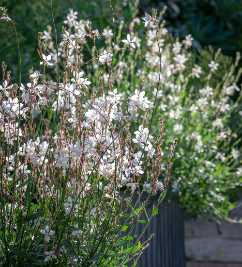 Gaura Collection for Pots (syn. Oenothera)
