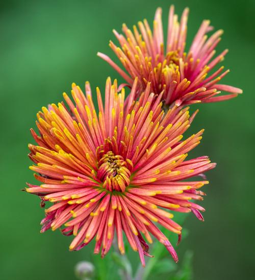 Chrysanthemum 'Tula Carmella'