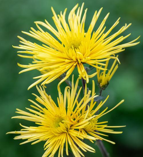 Chrysanthemum 'Spiro Yellow'