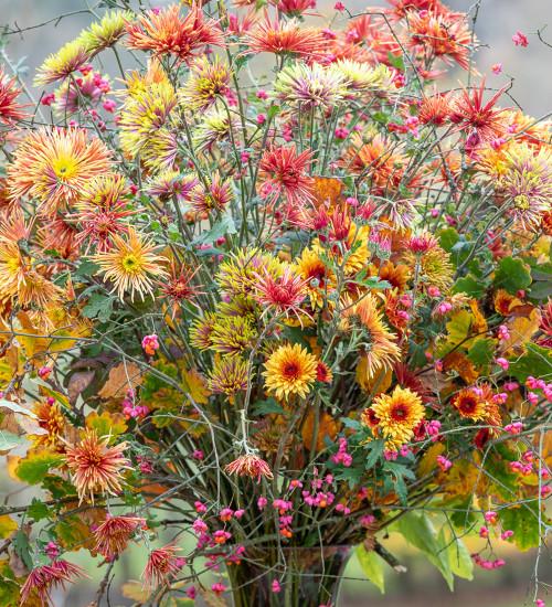 Autumn Sun Chrysanthemum Collection