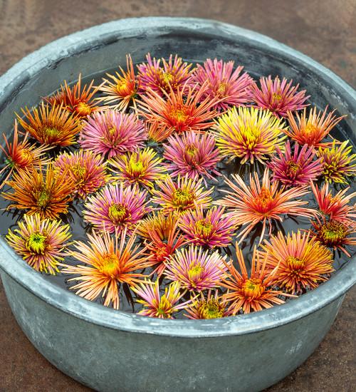 Catherine Wheel Chrysanthemum Collection