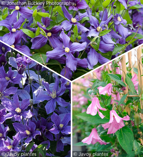 Clematis for Cutting Collection