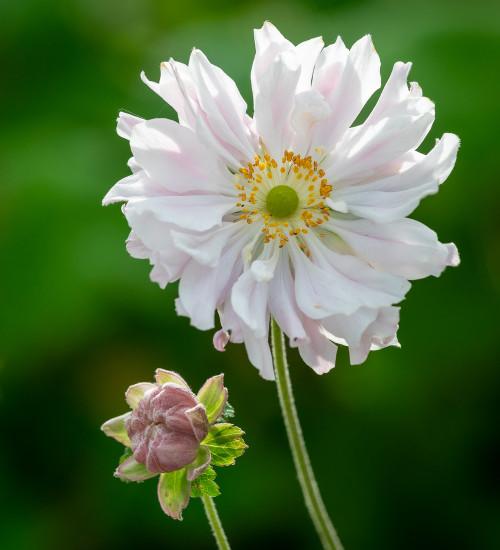 Anemone hupehensis var. japonica 'Tiki Sensation'