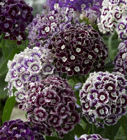 Dianthus barbatus 'Hollandia Purple Crown'