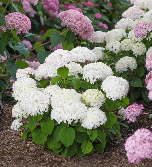 Hydrangea arborescens 'BellaRagazza Blanchetta'