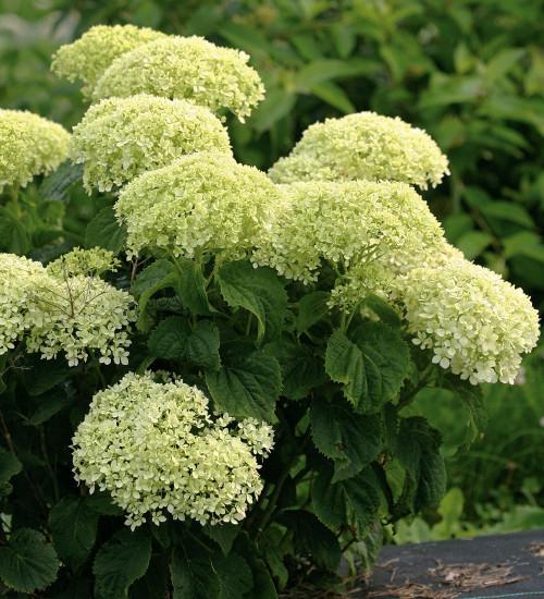 Hydrangea arborescens 'BellaRagazza Limetta'