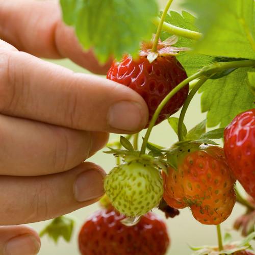 Strawberry 'Cambridge Favourite'