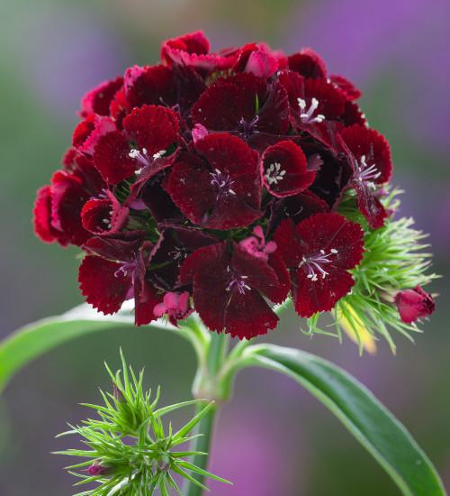 Dianthus barbatus 'Sweet Cherry Black' F1