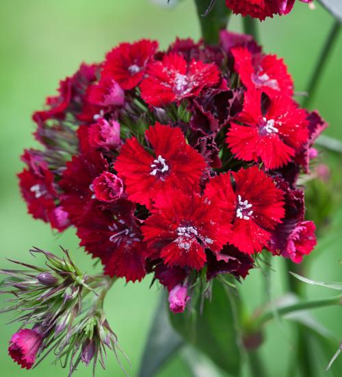 Dianthus barbatus 'Sweet Red' F1