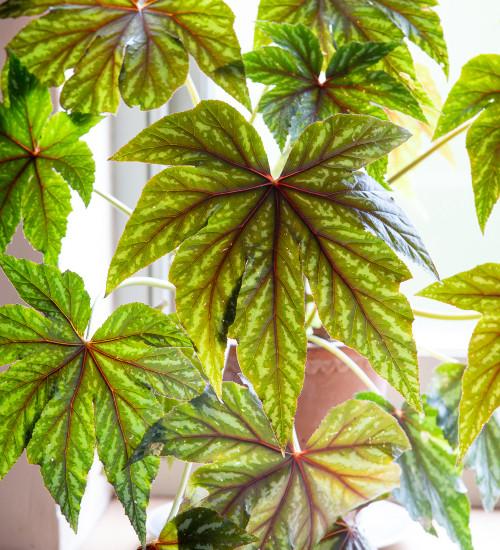 Begonia x hybrida 'Gryphon'