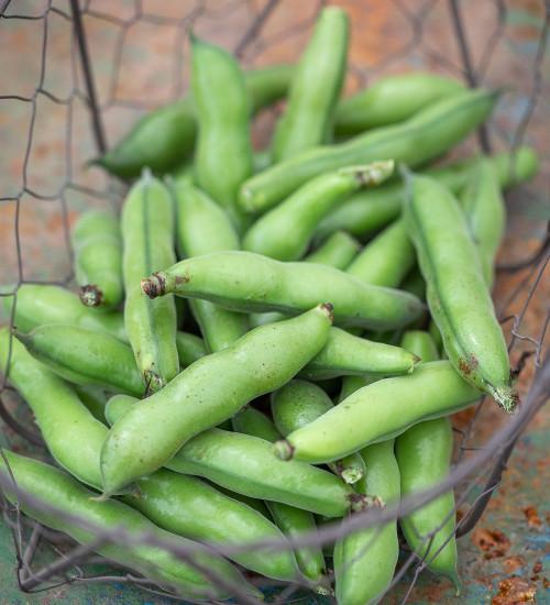 Broad Bean 'Scorpio'