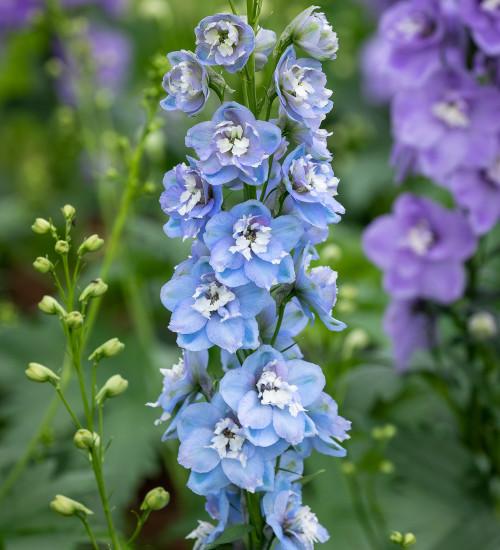 Delphinium elatum 'Aurora Light Blue'