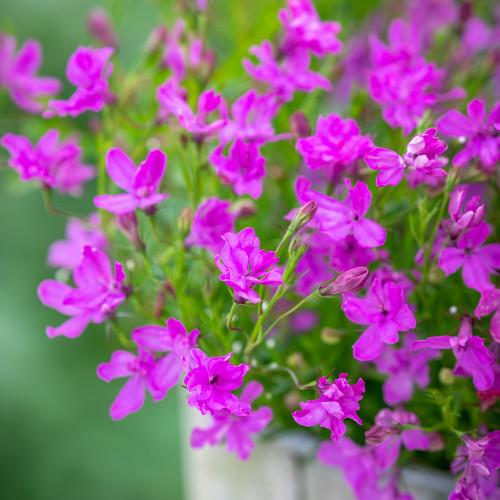 Lobelia erinus 'Waterfall Lavender'