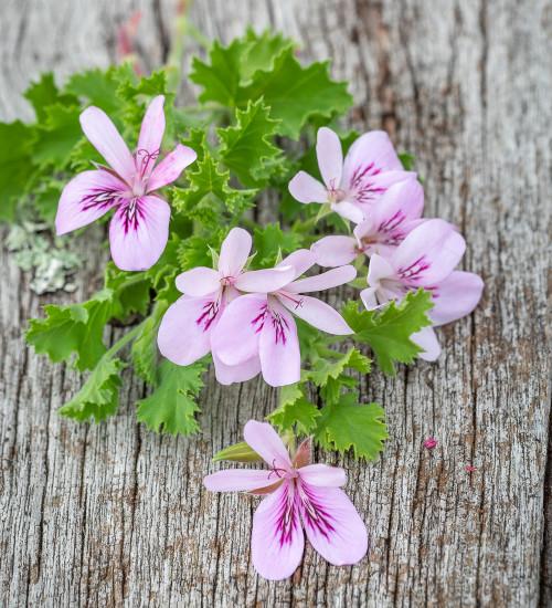 Pelargonium 'Torrento' (Scented)