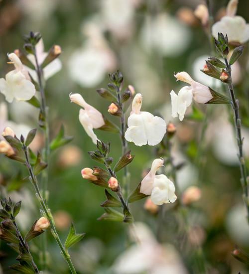 Salvia greggii 'Mirage Cream'