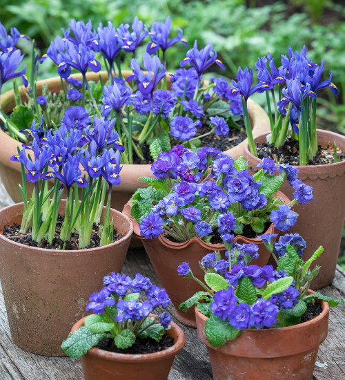 Blue Primula and Iris Collection