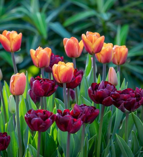 Desert Queen Tulip Collection