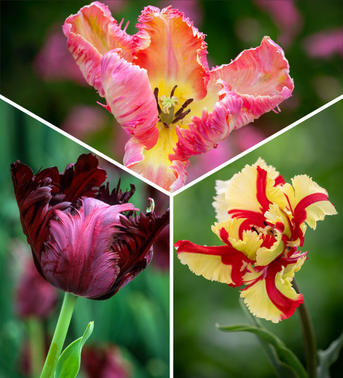 Flamboyant Frills Tulip Collection