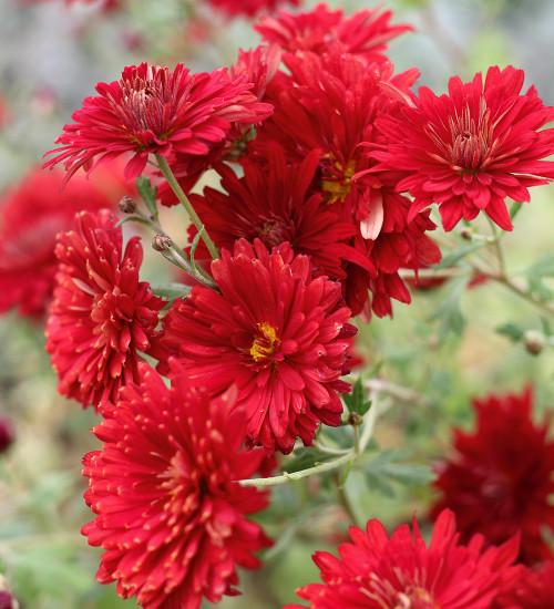 Chrysanthemum 'Duchess of Edinburgh'