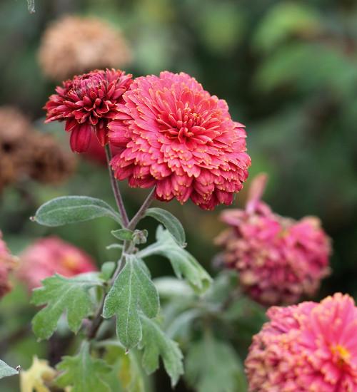 Chrysanthemum 'Doctor Tom Parr'