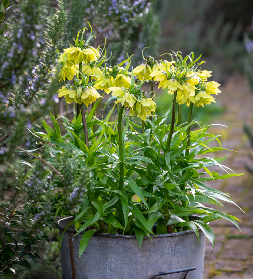 Fritillaria imperialis 'Early Sensation'
